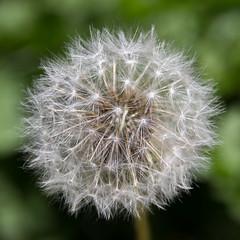 jorgecanelon--7 (jorgenolenac) Tags: dandelion taraxacum dientedeleón