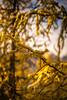 DSC08334 (www.mikereidphotography.com) Tags: larches fallcolors autumn canada canadianrockies lakemoraine larchvalley sentinelpass 85mm otus zeiss mirrorless a7r2 landscape golden