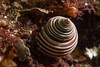 Blue Topsnail (Calliostoma ligatum) (jonmcclintock) Tags: underwater sunshinecoast travel britishcolumbia canada adventure scuba diving strongwater