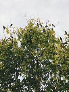 Cedar Waxwing party in the backyard. At least 25 flitting about the treetops. Sublime were their high frequency trills which rounded out the visual delights of the sunset.