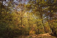 © Otoño 2017. (Jesus Portal) Tags: otoño2017 otoño jesusportal canon angular 60d color paisaje natural landscape serie filtro polarizador naturaleza disparador asturias hojas rama amarillo naranja yellow orange verde green estacion paraiso canseco leon hayas hayedo