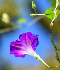 Morning glory (mariposa lily) Tags: morningglory morningglories vine vines flower flowers bloom blooms blossom blossoms purple purpleflower purpleflowers nikon nikond3300 d3300