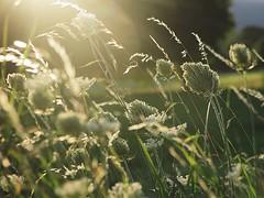 Le tout dernier été (nathaliedunaigre) Tags: fleurs fleurssauvages fleursdeschamps wildflowers flowers field champ herbes grass wildgrass soleil sun sunny été summer summertime campagne country paysage landscape nature