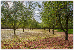 Fallen Apples. (Phil-Greaves.) Tags: apple apples orchard cider bulmers magners landscape storm hurricane wind ophelia brian colourful colour autumnal autumn