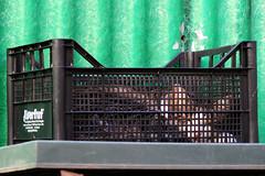 Ellen ready for shipment (Alfredo Liverani) Tags: 2572017 project365257 project365091417 project36514set17 oneaday photoaday pictureaday project365 project project2017 2017pad italia italy italien italie emiliaromagna romagna faenza faventia faience animal kitten gatto gatta gatti gatte cat cats chats chat katze katzen gato gatos pet pets tabby furry kitty moggy moggies gattino animale ininterni animaledomestico aliceellen ellen canong5x canon g5x
