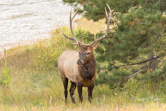 Elk bull keeping watch over his harem