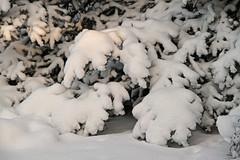 Snow-clad conifer