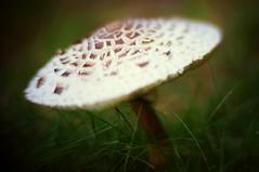 Big Mushroom (rolandmks7) Tags: sonynex5n mushroom freelens projectorlens