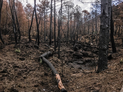 Burnt forest at the slopes of Vesuvius
