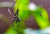 Golden orb weaver (Aiel) Tags: nephilapilipes northerngoldenorbweaver giantgoldenorbweaver goldenorbwebspider orbwebspider nephilapilipesjalorensis nephilamaculata animalia arthropoda chelicerata arachnida araneae araneomorphae araneidae nephila npilipes giantwoodspider woodspider spider bangalore bengaluru canon60d tamron70300vc