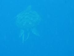 Green turtle (Chelonia mydas) with sharksuckers (Echeneis naucrates), Bunaken (Niall Corbet) Tags: indonesia sulawesi bunaken island tropical coral reef turtle greenturtle cheloniamydas