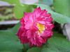 Nelumbo nucifera 'Red Narita' Lotus 007 (Klong15 Waterlily) Tags: rednarita lotus scaredlotus nelumbo nelumbonucifera redlotus lotusthai thailotus