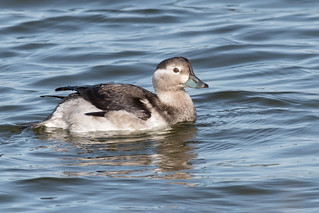 Long-tailed Duck-91