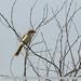 Rufous-tailed Shrike (Lanius isabellinus)