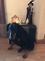 Happy Halloween 2017 - Gabbana, The Devil Dog (firehouse.ie) Tags: ghosts october31 2017 animals animal dogs dog pumpkons witches scary spooky pumpkin witch k9 tan black blackandtan female girl pinscher pinschers dobermanns dobermann doberman dobermans dobes dobe dobies dobie dobey dobeys devdog gabbana ireland autumn fall samain saman samhain samhan allhallows' allsoulseve halloween