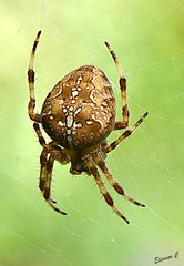 Pretty Garden Spider  HBBBT (Eleanor (No multiple invites please)) Tags: spider gardenspider orbspider web garden stanmore uk nikond7200 105mmmacrolens september2017