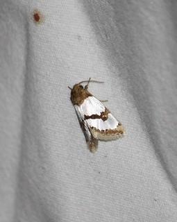 11199 Schinia chrysellus, Chrysellus Flower Moth