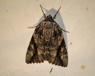 8793 Catocala maestosa, Sad Underwing Moth