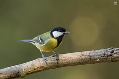 Chapim-real, Great Tit (Parus major (Nuno Xavier Moreira) Tags: chapimreal greattitparusmajoremliberdadewildlifenunoxavierlopesmoreirangc animals animais aves de portugal observação nature natureza selvagem pics wildlife wildnature wild photographer birds birding birdwatching em bird ao ar livre ornitologia ngc nuno xavier moreira nunoxaviermoreira liberdade national geographic all xpress us parusmajor greattit