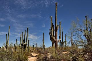 A Path to Walk Amongst the Saguaro