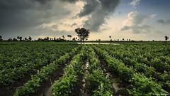 My Favorite Vegetable.... (Neha & Chittaranjan Desai) Tags: farm farming lone tree monsoon india gujarat surat beans clouds