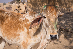 Rajasthan - Jaisalmer - Desert Safari traditional villiage-5