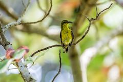 20170902-5D4_3954 (shutterblades) Tags: birds olivebackedsunbird riversafari singaporezoo