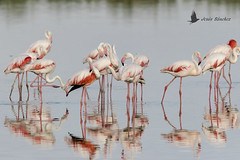 Flamenco común (Phoenicopterus roseus) (jsnchezyage) Tags: flamencocomún phoenicopterusroseus ave fauna naturaleza flamingo bird birding birdwatching ornithology beak feather reflejo ngc npc
