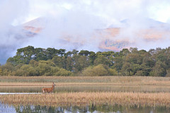 Part of the Kerry landscape (Karl Wild) Tags: red deer stag kerry ireland killarney national park macgillycuddys reeks