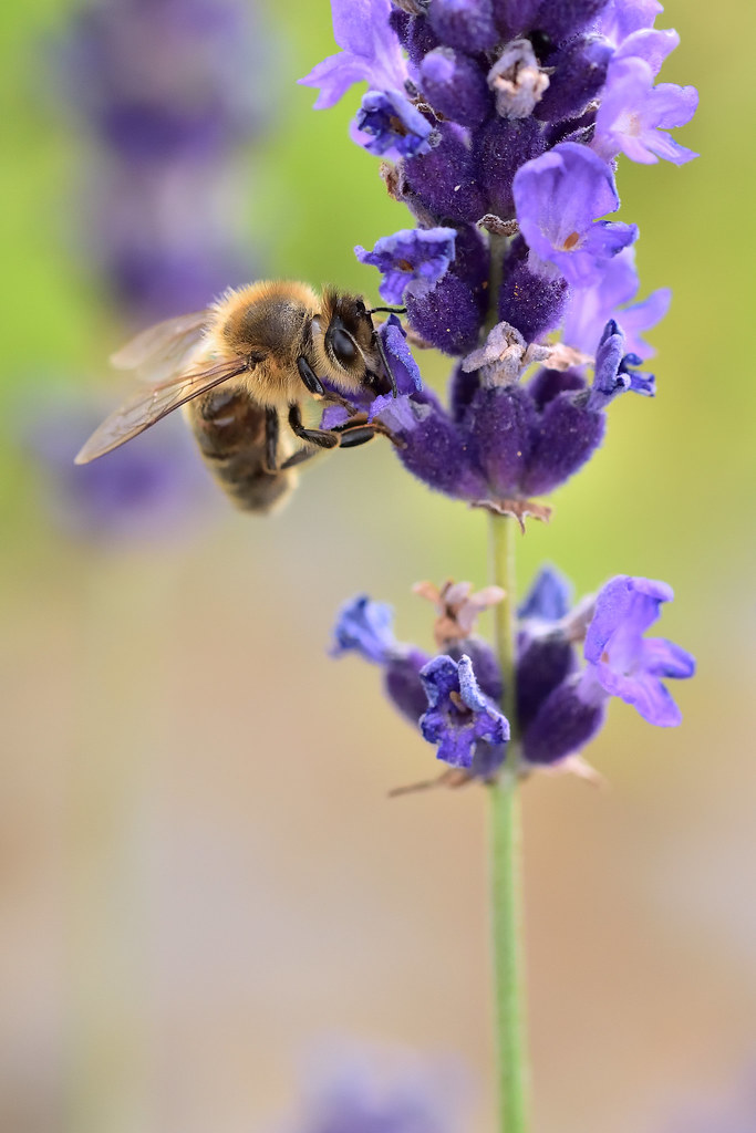 Bee @ Lavender