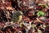 pipit maritime ( Anthus petrosus ) Erdeven 171102i2 (papé alain) Tags: oiseaux passereaux motacillidés pipitmaritime anthuspetrosus eurasianrockpipit erdeven morbihan bretagne france