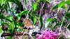 58 (bebsantandrea) Tags: levanto baiedellevante liguria natura campagna wild giardino fiori rosa pesco ciliegia fico ficodindia carciofo formica topo libellula mosca zanzara grillo ape vespa lucertola lizard farfalla butterfly riccio cimice ramarro afide pianta albero ragnatela gocce raindrop microcosmo sfingedelgalio farfallacolibrì ragno spider limone arancio arancia boragine impollinatrice cicala autunno estate primavera inverno bruco margherita zucca lampone fragola mantidereligiosa gallina coniglio coccinella kiwi