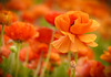 """Dancing in a Sea of Orange"" Giant Tecolote Ranunculous (Cathy Lorraine) Tags: macro flower bright gianttecoloteranunculus field flowers carlbad california carlsbadflowerfields glorious color vibrant orange pacificocean beautiful dazzling radiant depthoffield panasonic bokeh sunrays5"