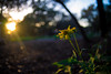 Flowers and sunset-022.jpg (robertreasor) Tags: sunset goldenhour yellowflower golden sunsetflower