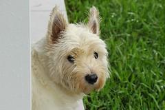 wet dog (Gillian Everett) Tags: angus terrier highland west rain 365 2017 mdpd2017 mdpd201710