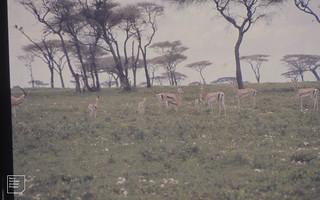 Grant's gazelle with fawns. Ndutu, Serengeti