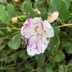 Flower of the Caper (Melinda Stuart) Tags: inflorescence caparisspinosa botanical ucbg public caparis caper pink white flindersrose