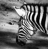 B&W Zebra (Orias1978) Tags: stripes safari nature bw outdoor background zebra national fur herbivore african equus isolated horse quagga africa portrait natural mammal savanna monochrome texture wild places animal burchell zoo closeup head wildlife beautiful striped stripe pattern eye black park fauna detail wilderness white