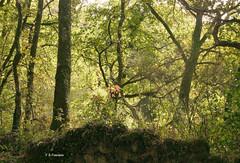 Solpor na Fraga Máxica. (Esetoscano) Tags: fragamáxica bosquemágico magicalforest atardecer sunset plantas plants árboles trees caducifolios angiospermas luz light sombra shadow contraluz backlight soutomerille castroverde terrasdomiño lugo galiza galicia españa spain