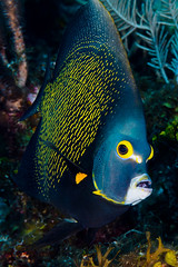 French Angelfish - Pomacanthus paru (zsispeo) Tags: actinopterygii osteichthyens perciformes pomacanthidae pomacanthus teleostei paru scuba diving tropical reef fish underwater macro macrophotography sea ocean holidays vacation summer beach relaxation d800e coral fauna wildlife wild geotagged science taxonomy travel sustainable life aquatic beautiful nature animal biology id identification souvenir living favorite natural padi rare saltwater turquoise blue conservancy quality escapade tourism wet outdoors angelfish mexico akumal
