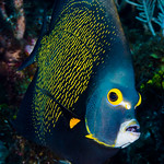 French Angelfish - Pomacanthus paru thumbnail