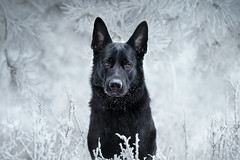 Frost (DigitalBite) Tags: dog dogphotography black blackgermanshepherddog gsd frost forest snow