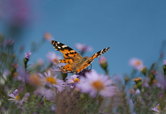 Painted lady (sergtrav) Tags: butterfly flowers sky insect paintedlady