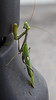 praying mantis (Mika Lehtinen) Tags: prayingmantis mantis praying insect spain
