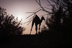 Rajasthan - Jaisalmer - Desert Safari with Camels-37