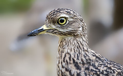 Big Eyes (Paula Darwinkel) Tags: spotted thickknee cape bird animal wildlife nature eyes portrait