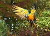 Blue And Gold Incoming [eXPLoReD] (Ger Bosma) Tags: 2mg258415zzfiltered blauwgeleara araararauna blueandyellowmacaw blueandgoldmacaw gelbbrustara arableu arableuetjaune guacamayoazulamarillo guacamayoazulyamarillo papagayoamarillo parabaazulamarillo flight landing touchingdown touchdown spreadwings wings action speed