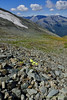 Alpine scenery with Arctic Poppy (Tatters ✾) Tags: russia altai oloneo foreground flowers papaverradicatum papaver papaveraceae alpine floraofaltai россия алтай