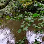 Heron in River Chew, Keynsham. thumbnail