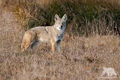 Coyote (fascinationwildlife) Tags: animal mammal predator wild wildlife nature natur national park seashore california usa america point reyes coyote koyote kalifornien field coast fall autumn